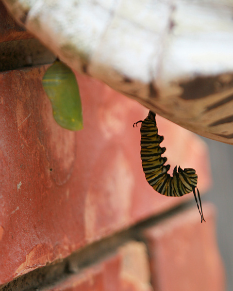 Monarch chrysalis and caterpillar