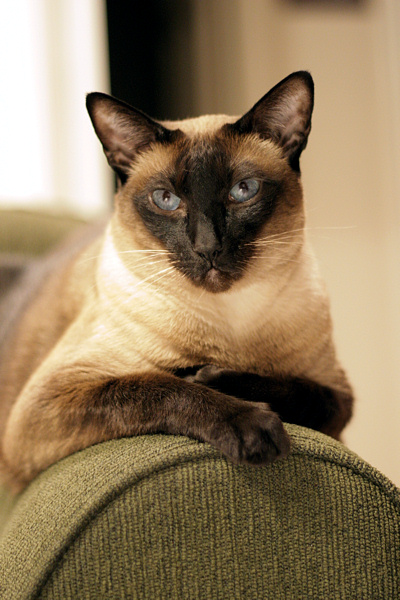 Our purebred Seal Point Siamese cat, Sagwa